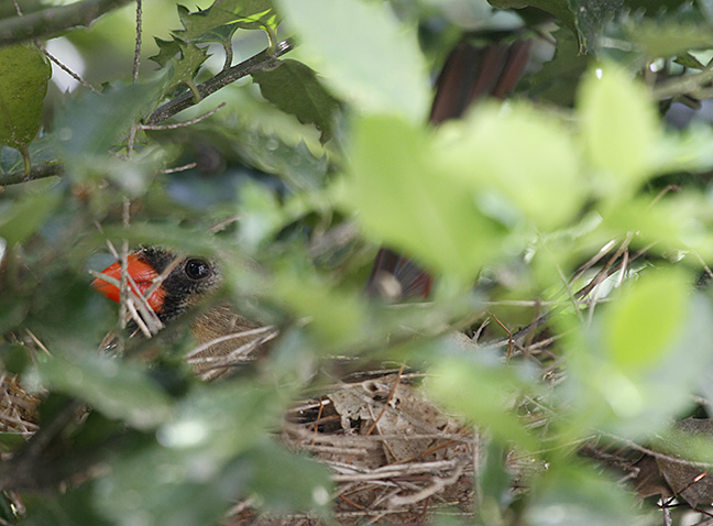 A female cardinal sits on a nest partially hidden from view.