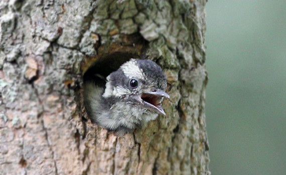 A hairy woodpecker chick calls out from food from a nest cavity in a tree