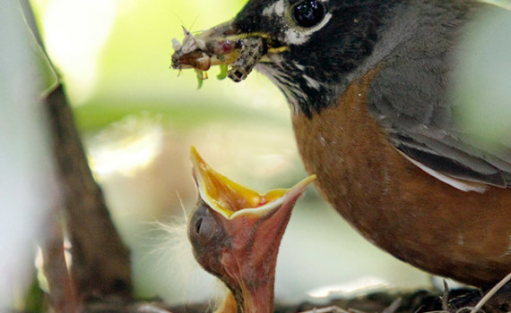An adult American Robin perches on the side of the nest with a beak full of bugs as a chick opens its mouth for easy delivery in a nest in a rhododendron in North Andover.