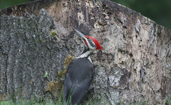 A Pileated woodpecker pauses on a stump.